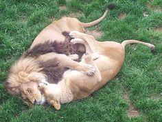 Even Animals Need A Cuddle Buddy - 24 Pics Animals And Pets, Baby Animals, Funny Animals, Cute Animals, Lion Pictures, Funny Animal Pictures, Animal Pics, Couple Lion, Beautiful Cats