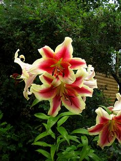 Red & Yellow Lilies - Stunning !