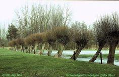 Schietwilg (salix alba) De soort groeit bij voorkeur op niet zure, vochtige en humusrijke lemige zand-, leem- en kleigronden.