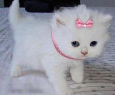 looks like the cute cat from the aristocats! Adorable                                                                                                                                                                                 More