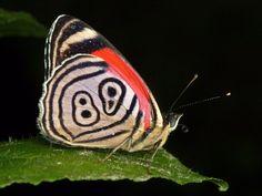 https://flic.kr/p/bvDxgC | Eighty-eight or 89 butterfly, Diaethria clymena, Nymphalidae