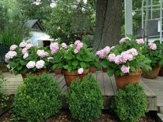 You don't have to have a garden spot to grow hydrangeas. They'll thrive in large pots, too. Click here for more gardening ideas using these shade-loving shrubs.