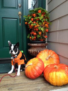 Nikko's 1st Halloween... He clearly does not like posing for photos! Boston terrier