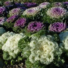Ornamental Cabbage and Kale, Brassica oleracea Kale Plant, Cabbage Plant, Cabbage Flowers, Cabbage Seeds, Container Flowers, Container Plants, Big Plants, Garden Plants, Growing Cabbage