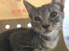 Brooklyn Center  My name is RICHSIMMONS. My Animal ID # is A1082068. – P I am a male gray tabby domestic sh mix. The shelter thinks I am about 4 MONTHS old.  I came in the shelter as a STRAY on 07/21/2016 from NY 11214, owner surrender reason stated was STRAY.  MOST RECENT MEDICAL INFORMATION AND WEIGHT 07/24/2016 Exam Type OBSERVATION – Medical Rating is 2 C – MINOR CONDITIONS , Behavior Rating is NONE, Weight 4.2 LBS.