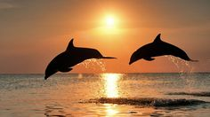 Nature Two Dolphins Jumps On The Sea With Beautiful Sunset Background Hd Wallpapers Ocean life HD Wallpaper Dolphin Hd, Bottlenose Dolphin, Dolphin Tours, Beautiful Creatures, Animals Beautiful, Magical Creatures, The Animals, Nature Animals, Cutest Animals