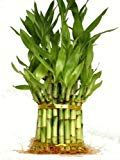 9GreenBox  3 Tier 4 6 8 Top Quality Lucky Bamboo For Feng Shui (Total About 38 Stalks)