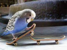 Coolest Bird Ever : ) (our bird would have loved these mini skateboards)