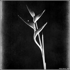 Mapplethorpe, Black and White Flower Photography,Middle Format, 120 Film, Birds of Paradise, ExcellentsFlowers,Fine Art, Wall Decor by PipeLampsSteel on Etsy