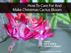 How To Care For And Make Christmas Cactus Bloom This.