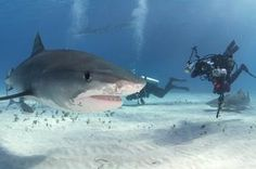 TripBucket - We want You to DREAM BIG! | Dream: Dive with Tiger Sharks