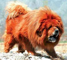 The former mayor of Lhasa, Tibet, outlines the three types of Tibetan Mastiffs sought after in its homeland. Modern Molosser  |  www.modernmolosser.com