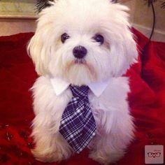 Can I take this dog in my purse to work? He has a collar and a tie!?!
