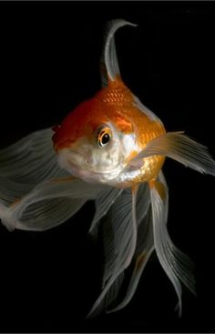 Sustainable eco-friendly living II Aquaponicals II Goldfish provide plants with nutrients to grow, which in turn purify the water for the Golfish.