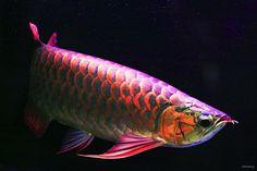 Super Red Asian Arowana Fish [ EXPLORED ] by -clicking-, via Flickr