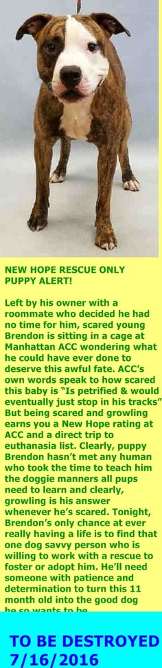 MURDERED 7/16/16 Manhattan Center My name is BRENDON. My Animal ID # is A1080927. I am a male br brindle and white am pit bull ter mix. The shelter thinks I am about 11 MONTHS old. I came in the shelter as a STRAY on 07/12/2016 from NY 10467, owner surrender reason stated was ABANDON. http://nycdogs.urgentpodr.org/brendon-a1080927/