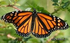 The adult (or imago) is colorful butterfly or moth usually seen. It is the reproductive and mobile stage for the species. The adults by joan
