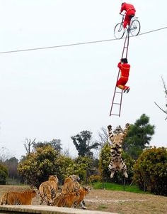 OMG - Do you think this could be Harbin Tiger Park? Those dudes are CRAZY!