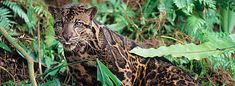 The clouded leopard is more at home in the trees than on the ground and can move nimbly through the dense forests of southeast Asia and the eastern Himalayas. The exact numbers of this secretive cat are not known but they are believed to be in decline due to habitat loss and poaching.