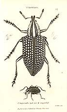 antique print of insect by George Shaw