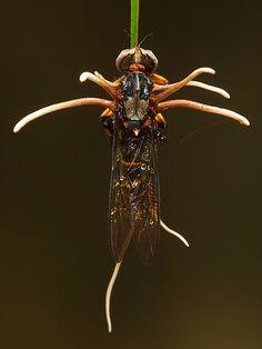 Cordyceps Fungus on Robberfly