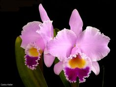 Cattleya Trianae, Colombia's national flower (a parasite, not a flower)