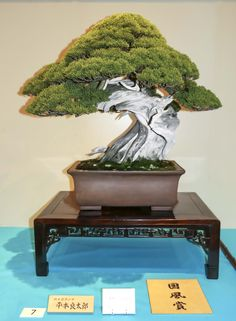 There were five Kokufu Prizes awarded in Part 1: Itoigawa Sargent juniper, Juniperus chinensis var. sargenti 'Itoigawa'