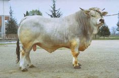 Developed in Italy's Po Valley by the crossing of Podolic cattle with indigenous strains. They were consolidated in the nineteenth century in the province of Forli. They were crossed with Chianina during the period 1850-80. At the world exhibition in Paris in 1900 the Romagnola was distinguished as the best beef breed. A herd book was opened in 1956.