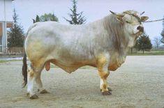 Toro de raza Romagnola