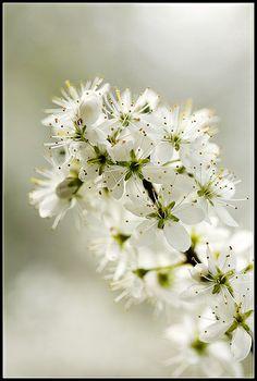 Blackthorn flowers | Flickr - Photo Sharing!