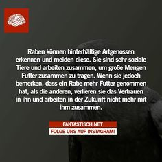 Raben • Faktastisch.net Funny Facts, Funny Quotes, Clever Animals, Animal Facts, I Need To Know, Funny Pins, Introvert, Cool Designs, Knowledge