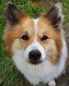 (ICELANDIC SHEEPDOG) If you're looking for medium dog breeds between 20 and 40 pounds, you are SO in luck! Dozens of wonderful and popular dog breeds fall right in the mid-range! Let's check out the top Best Medium Dog Breeds, Best Medium Sized Dogs, Medium Sized Dogs Breeds, Medium Dogs, Loyal Dog Breeds, Loyal Dogs, Cute Dogs Breeds, Small Dog Breeds, Bull Terriers