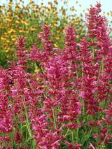Agastache Heat Wave - Perennials for hot, dry sites
