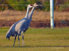 A pair of Cranes walking by very quietly in Galveston, Texas