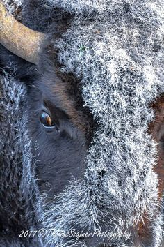 Thomas Szajner Photography it is getting cold in Yellowstone...