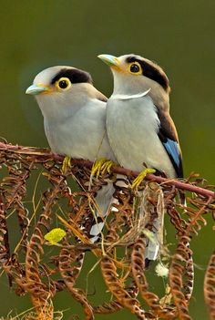 Photo by grguy~ Silver-breasted Broadbill pair. :)