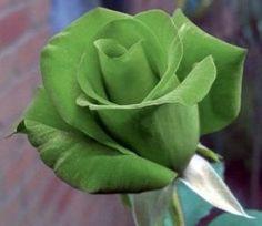 green rose green roses pinterest gr ne rose gr n und rosen. Black Bedroom Furniture Sets. Home Design Ideas