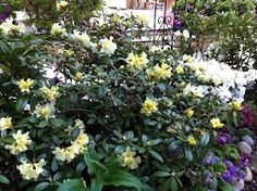 Yellow rhododendron are my FAVORITES.  I am always stunned when mine comes into bloom.