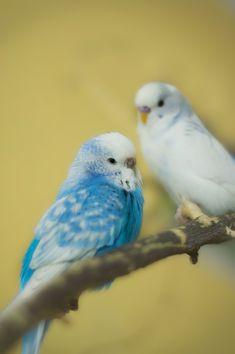 Family by KebabxP- Quintin Fabienne- Parakeet Food, Parakeet Care, Blue Parakeet, Budgie Parakeet, Budgies, Monk Parakeet, Cute Birds, Pretty Birds, Beautiful Birds