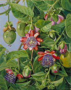 Flores e frutos de maracujá. Flor da paixão.  Marianne North (1830-1890).