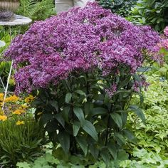 Tall Joe Pye Weed Eupatorium 'Phantom' Live Perennial Plant Attract Butterflies Purple Flowers Summer to Fall Blooms! Purple Plants, Green Plants, Purple Flowers, High Country Gardens, September Flowers, Herbaceous Perennials, Perennial Plant, Unique Plants, Evergreen Shrubs