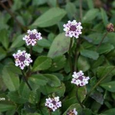 Frog Fruit (Lippia nodiflora) - Butterfly Host Plant