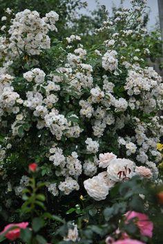 Rosa 'Francine Austin' (Austin, 1988) David Austin, Roses, Garden, Plants, Climbing Roses, Garten, Pink, Rose, Lawn And Garden