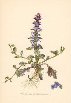 1954 Blue Bugle Antique Botanical Print Vintage by Craftissimo, €12.95