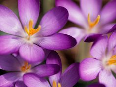 Purple Crocuses Photograph by Stacy Gold A close-up shows purple crocuses flecked with bright yellow pollen in Washington, D.C. (For more pictures of the amazing colors of our world, buy the National Geographic book Life in Color.)