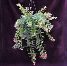 Aeschynanthus lobbianus - Lipstick plant