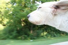 Is there anything that looks happier than a dog sticking its head out of the window of a moving car?