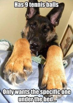Wicked Training Your German Shepherd Dog Ideas. Mind Blowing Training Your German Shepherd Dog Ideas. Funny Animal Pictures, Funny Animals, Cute Animals, Dog Pictures, I Love Dogs, Puppy Love, Cute Puppies, Cute Dogs, Game Mode