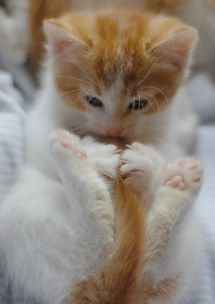 Ginger and White Kitten finally finds her tail!
