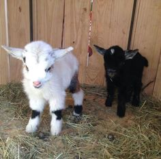 Pigmy goats. I WILL have at least 2! They're so adorable